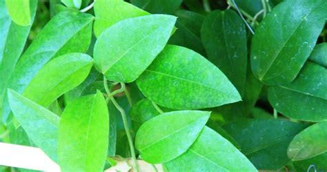 daun cincau efendi gambar tanaman cincau hijau