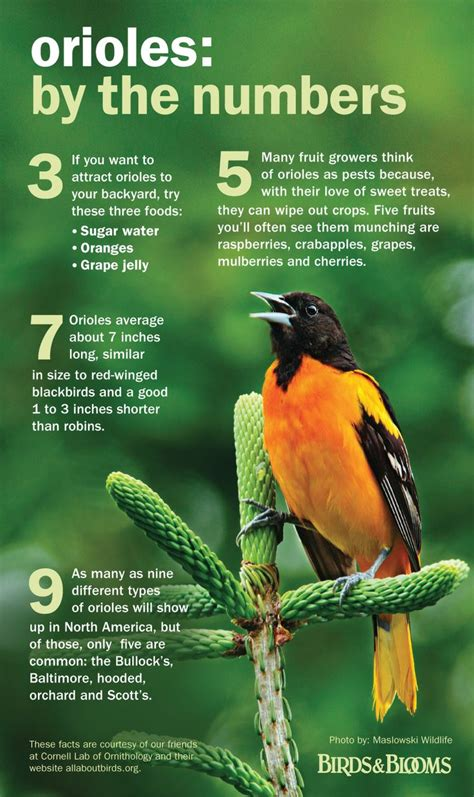 how to attract baltimore orioles to your backyard how to attract baltimore orioles to your backyard 28