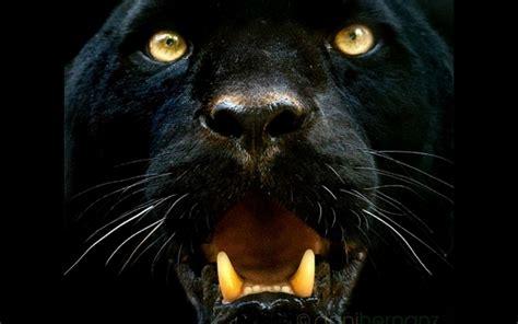 black jaguar hd wallpaper black panther animal desktop wallpaper hd black jaguar