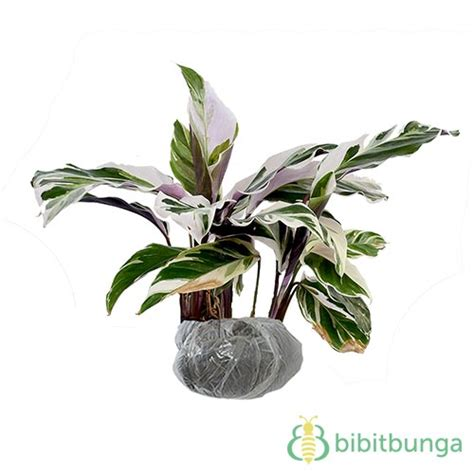 tanaman calathea saputangan bibitbungacom