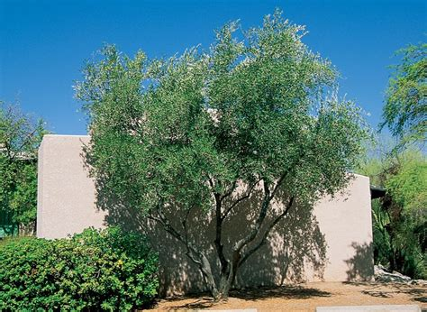 fruitless olive miller yard ideas pinterest