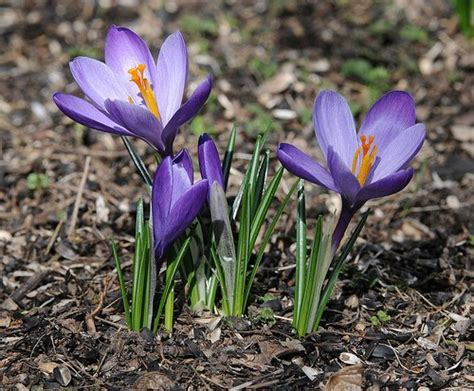 beautiful flowers crocus flowers pictures meanings