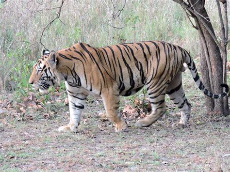 animal bengal tiger bengal tiger wikiwand