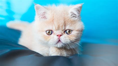 best breeds for cats best cat breeds for dogs cats