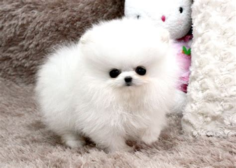 teacup pomeranian lifespan teacup pomeranian lifespan teacup pomeranian