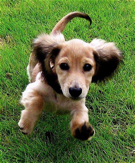 dachshund puppies nyc miniature dachshund new york photo