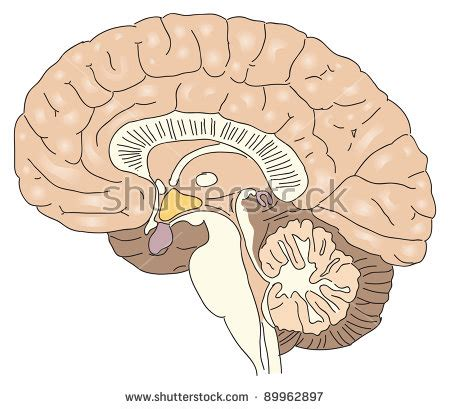 cross section human brain cross sectional drawing stock photos images pictures