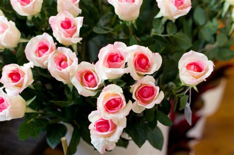 imagenes de rosas rojas y rosadas rosas blancas rosadas im 225 genes y fotos