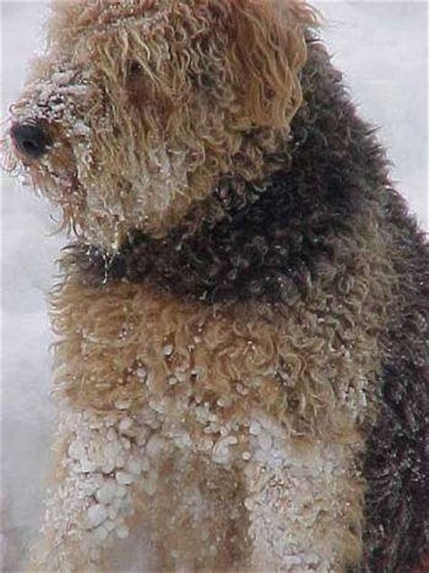 winter airedale haircut airedale terrier dog breed pictures 1