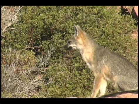 barking fox called  late september  great vocalizations youtube