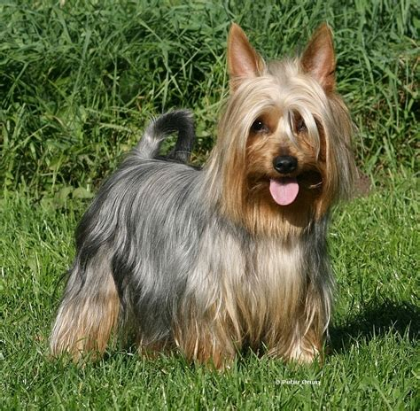silky terrier puppy experts neutered and dumped cairn terrier or a mix