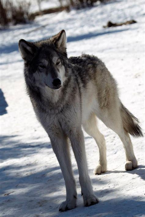 yamnuska wolfdog sanctuary encounters   canadian