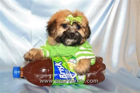 maltipoo puppies for sale in az 79 best images about puppy dogs dachshund and maltese on dachshund