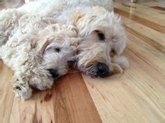 goldendoodle puppy with diarrhea goldendoodle obsession by bridgetliz on