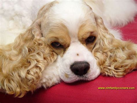 17 ideas about american cocker spaniel on