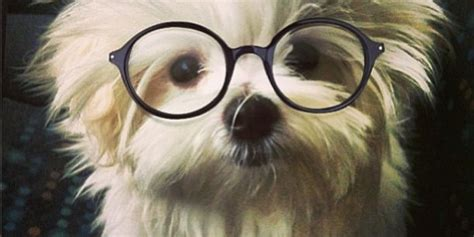 puppy with glasses 22 dogs that are clearly smarter than you because they re wearing glasses