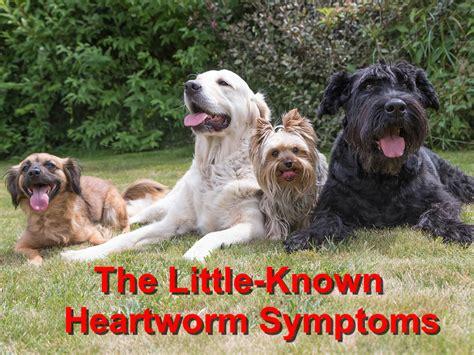 heartworm symptoms chion wood animal hospital