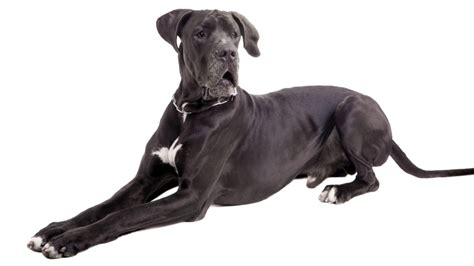 best food for great dane puppy best food for great danes protein controversy herepup