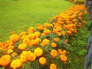 Neem For Garden Pests - growing marigolds greenmylife anyone can garden
