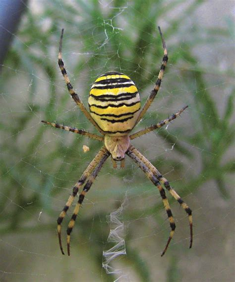 Garden Spider Family Name 17 Best Images About Arthropoda On Lakes
