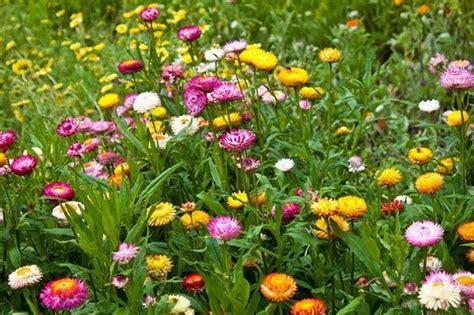 fiori di elicriso coltivare elicriso aromatiche coltivazione elicriso