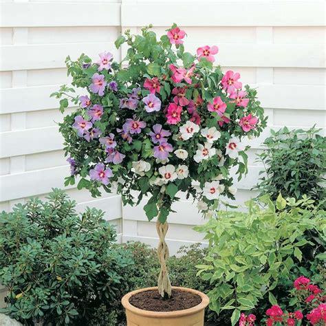 alberelli da vaso piante da vaso per esterno piante da giardino piante