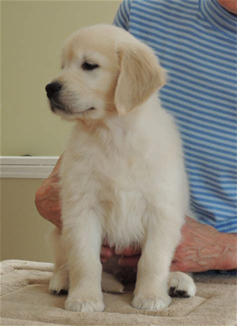 golden retriever puppies barrie golden retriever puppies available now breeds picture