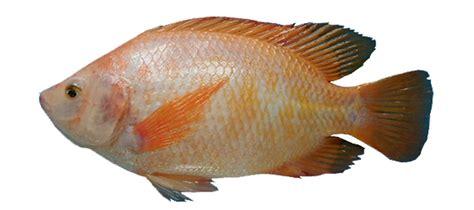 gambar ikan lengkap kumpulan gambar lengkap