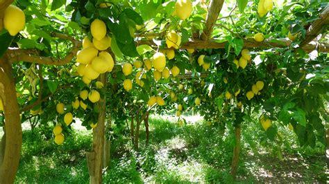come si coltiva il limone in vaso la coltivazione limone 50 sfumature re degli agrumi