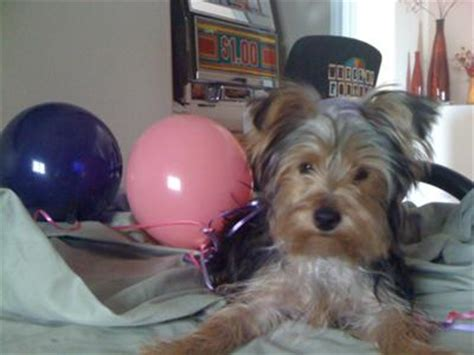 how to housebreak a yorkie in 7 days puppy aggression and dominance your questions answered