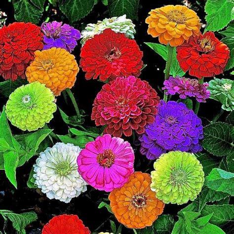 buy flower seeds buy zinnia elegans dahlia flowered mixed seeds online india buy biocarve