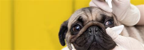 pug eye care docs ophthalmology nc state veterinary medicine