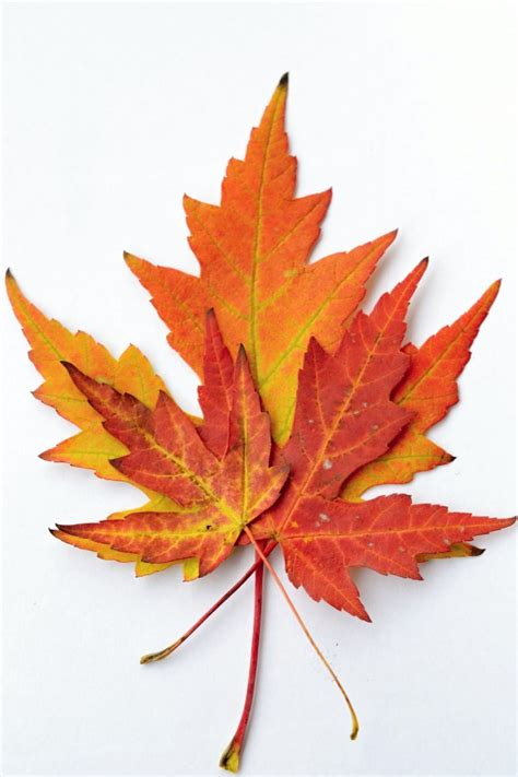 file maple leaf autumn jpg dead leaves vectors photos and psd files free