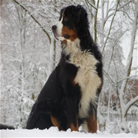 rottweiler lymphoma canine lymphoma common diseases