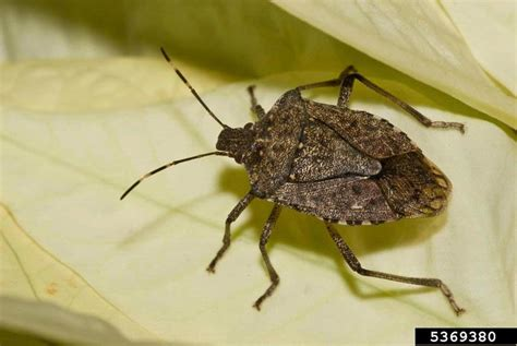 What Causes Fruit Flies The Pest Specialist Marmorated Stink Bugs