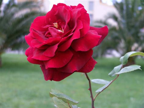 imagenes de flores del co rosa flor 1 by spirit warri0r on deviantart