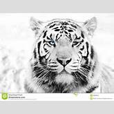 White Tiger Stock Images - Image: 28903924