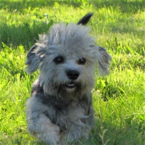 dandie dinmont terrier puppies for sale dandie dinmont terrier puppies for sale