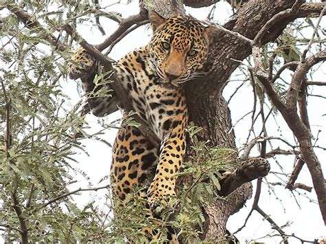 jaguar az az mountain hunt turns into dangerous jaguar encounter