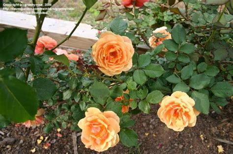 f climbing rose autumn sunset apricot yellow black spot