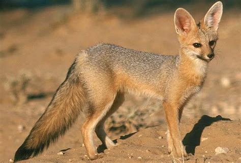 is a fox a cape fox south africa mammal guide