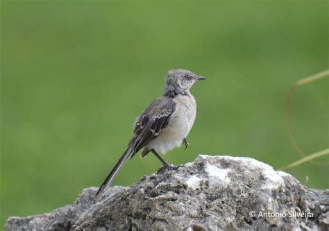 northern mockingbird mimus polyglottos juvenile the