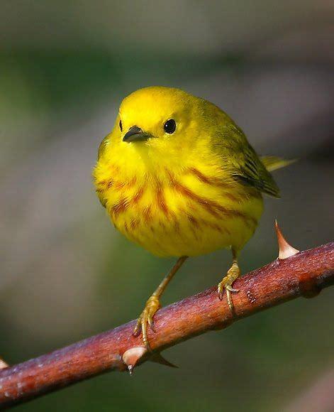 yellow golden finch color of sunshine pinterest bird