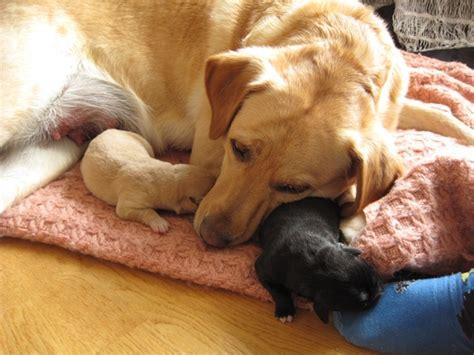 symptoms caring  feeding  pregnant dog easy guide