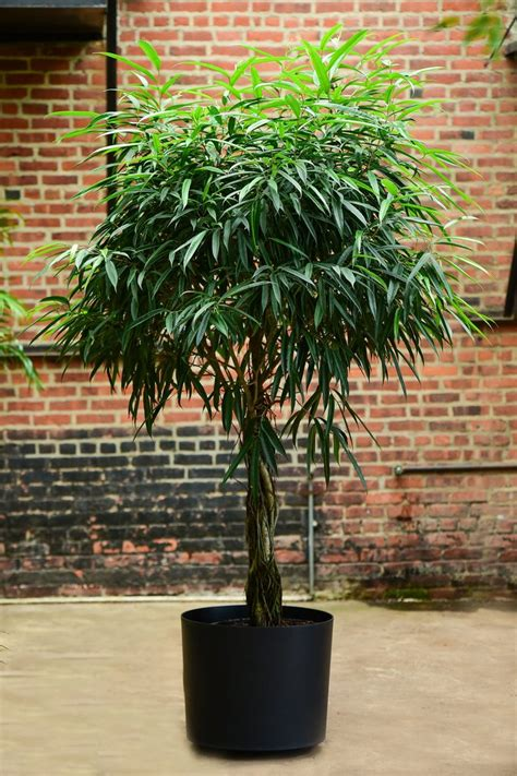ficus alii interior foliage design