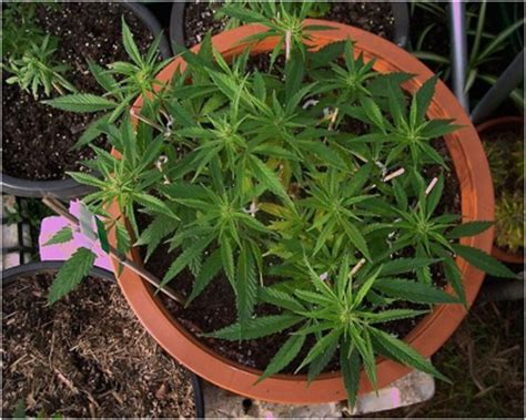 the marijuana growers guide natures pharmacy organic no till cannabis cultivation from seed to harvest books how to use sunlight in growing marijuana indoors