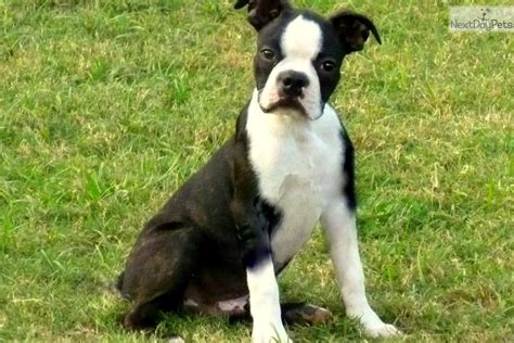 boston terrier puppies louisiana boston terrier puppy for sale near baton louisiana 7d3bacc3 2b21