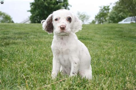 english setter girl dog names lucy english setter puppy for sale in pennsylvania