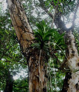 Bibit Anggrek Hitam Papua inos kalsel