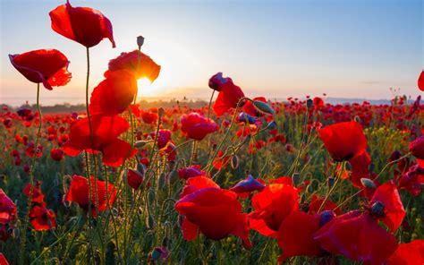 wallpaper poppy field sunrise morning blossom hd
